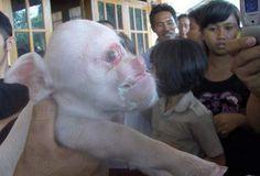 En Santiago Nace Un Cerdo Con Cara De Gente