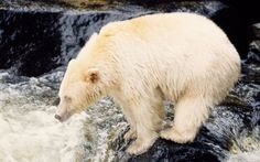 Great Bear Rainforst, Canada  The region is home to one of the highest concentrations of bear in North America; the kermode 'spirit' bear is pictured here.