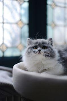 Beautiful long-haired grey & white kitty