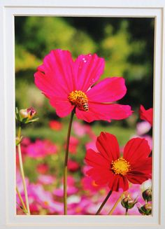 5x7 Pink cosmo and bee flower garden by RoadAheadPhotos on Etsy.