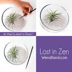 It's flowering season for Air Plants!  Get it now so you can enjoy your Zen Garden in bloom!