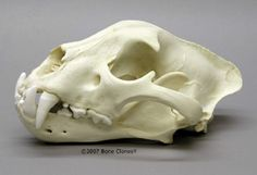 Osteological reproduction (replica) of Jaguar skull - via boneclones.com