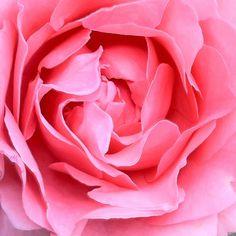 Rosa L'aimant