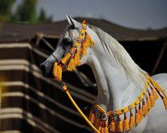 Cavalo Árabe! os mais lindos!!