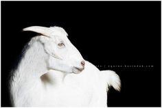 Karinda K Equine Photography Livestock