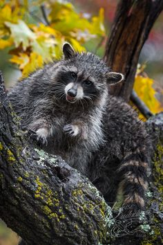 """Excuse Me? Did You Just Call Me a Trash Panda?"" - Raccoons (Procyon lotor) in Tree - captive animals Holly Kuchera photo taken: Black Bear, Big Dogs, Panda, Fox, Raccoons, Artwork, Animals, Photos, Animales"