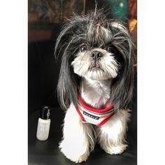 #shihtzu #dog #puppy # #girl #candy #tibet #china #beauty #alabonfire #perfume #messysexyjustrolledoutofbed #nicheperfume #rosinaperfumery #giannitsopoulou6 #glyfada #athens #greece #shoppingonline : www.rosinaperfumery.com