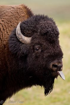 funkysafari | Amazing Pictures  Bison or american buffalo (Bison bison). by DRobertFranz