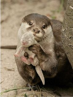 Mother otter and baby