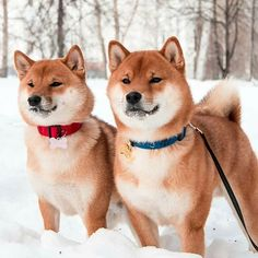 Look at these beauties enjoying the snow. @rio_and_penny ⚠️ To be featured please #itsallaboutdogs ⚠️ #dogs #shibainu #animals #puppies #snow #cuteanimals #outside #puppylove