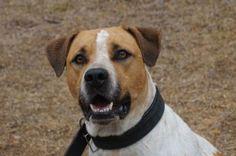 Año de nacimiento: Noviembre 2014 Sexo: Macho Raza: Staffordshire Terrier Americano Tamaño: Grande  Thor... - Perros en adopción - Gatos en adopción