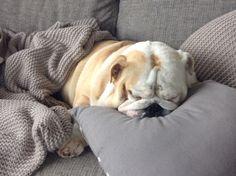 Bulldog sleeping #cozy #sundaymorning #cute #britishbulldog