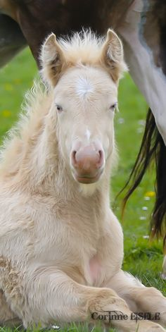 irish cob, gypsy cob, gypsy vanner, cheval, chevaux, horse, horses.