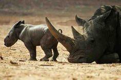 Rhino #rhinoceros #rhino #topanimals