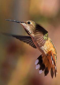 Hummingbird by Pamela Weston