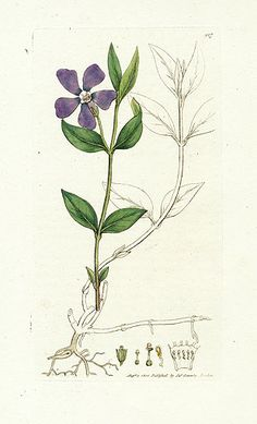 Lesser Periwinkle - James Sowerby Botanical Prints 1791