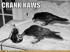crows ravens rooks | Crank Kaws | Ravens/Crows/Rooks