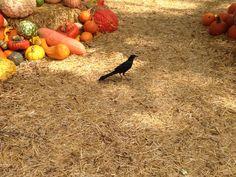 A lot of birds hang around Pumpkin Village at the Dallas Arboretum!