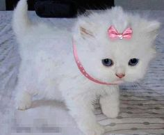 Princess kitty, sweet kitten #cat