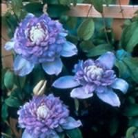 Climbing flower--has big blooms.  Can be used in container garden