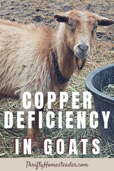 Ten years ago, most vets realized goats needed copper, but they thought that deficiency was impossible if you were feeding a commercial goat grain and providing a free choice mineral. Today, we know that copper deficiency can cause a long list of symptoms, from cosmetic to life threatening. #goathealth #copperdeficiencyingoats #raisinggoats Breeding Goats, Show Goats, Nubian Goat, Goat Care, Boer Goats, Nigerian Dwarf Goats, Raising Goats, Livestock, Cattle