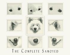 order this print to support Samoyed Rescue  samoyedrescue.org