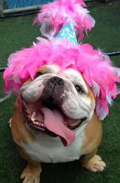 .❤ What a HAPPY FACE ~ Looks like a great party ! ❤ #englishbulldog #dogs #pets