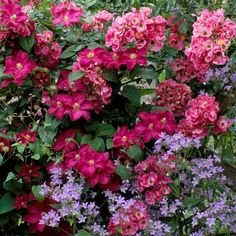 A nice way of adding color to your walls and fences! Entwine the spectacular Climbing Rose 'American Pillar' which will flaunt its rich pink blossoms, with the showy blossoms of Clematis 'Ernest Markham' for a spectacular color show! Trailing Flowers, Rare Flowers, 800 Flowers, Roses Pinterest, Red Climbing Roses, Planting Roses, Roses Garden, Flower Gardening, Garden Plants
