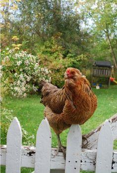 Cottage chicken