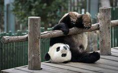 Silly bear, panda bear