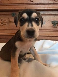 A..  The Niel Diamond Litter - Desiree is an adoptable Labrador Retriever searching for a forever family near Charlotte, NC. Use Petfinder to find adoptable pets in your area.