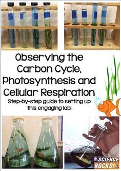 Step by step guide for setting up a carbon cycle lab. Students will observe photosynthesis and cellular respiration in aquatic plants. From Science Rocks High School Biology, Biology Teacher, Science Biology, Teaching Biology, Middle School Science, Science Education, Life Science, Forensic Science, Higher Education