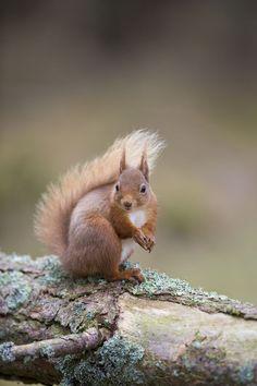 Steckspiele Model Cyril das Eichhörnchen