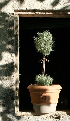 Santolina/Cotton Lavender Plant (from Southern France store)