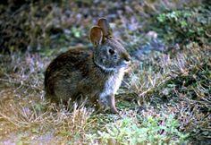 Endangered Florida Keys marsh rabbit