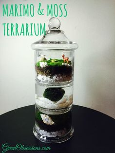 I have been a long lover of moss terrariums and Marimo. After seeing pictures of a tiered glass jar and a Marimo in a glass container with moss on top, a few weeks ago, I was inspired to bring my … Marimo Moss Ball Terrarium, Terrarium Jar, Garden Terrarium, Water Terrarium, Plants In Jars, Water Plants, Cactus Plants, Indoor Water Garden, Indoor Plants