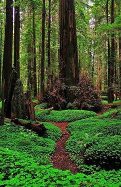 Redwood Forest Path, California
