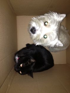 Boxed Out Westie Cat
