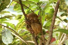 Tarsiers in Bohol (the Philippines). 'Don't miss a dawn visit to the iconic Chocolate Hills, strange undulating bumps that stretch as far as the eye can see. Then make your way to the tarsier sanctuary for a glimpse of the bug-eyed primates.' http://www.lonelyplanet.com/competitions/the-philippines/nature-and-adventure