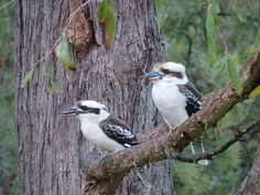 This week's WordPress Weekly Photo Challenge is – partners. These two kookaburras have been seen regularly around our place. Look up …. Look down …. Look up again …. :…