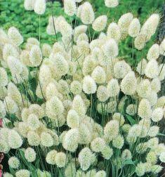 Grass Bunny Tails - Lagurus ovatus, flowers june to september - Garden Plants Moon Garden, Dream Garden, The Secret Garden, Prairie Garden, White Gardens, Arte Floral, Ornamental Grasses, Plantation, Flower Seeds