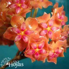 Hoya bordenii Plant                                                                                                                                                      More