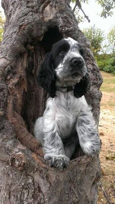 Cocker spaniel. Cutest puppies in the universe.