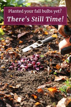 If winter is closing in and you still haven't planted your fall bulbs, don't worry! There are actually some advantage to planting as late as Thanksgiving. Garden Bulbs, Planting Bulbs, Planting Flowers, Rare Flowers, Bulb Flowers, Organic Gardening Tips, Vegetable Gardening, Container Gardening, Growing Gardens