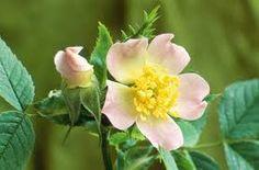 Růže šípková Rosa canina Růžovité