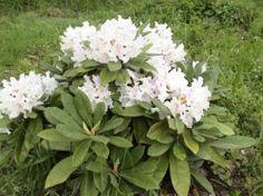 Suomessa kehitetty alppriuusu Pohjolan tytär on alppiruusuista tuuhein. Sillä on hienot nukkapintaisen oloiset, hieman hopeiset lehdet ja valkeanvaaleanpunainen kukinta alkukeväästä. Ikivihreänä loistava kasvi. Nukka-alppiruusu ei kasva metriä korkeammaksi, vaikka leveyttä sille saattaa kertyä aika lailla. Pidä leikkaamalla sen kokoisena kuin haluat. Plants, Love Flowers, Flowers, Conifers, Evergreen, Moon Garden, White Gardens, Cottage Garden, Azaleas