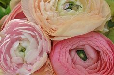 How To Grow Radiant Ranunculus In Garden Beds And Planter Pots #ranunculusgrowing
