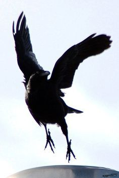 the crow leaps by ~Creative-Addict on deviantART Crow Art, Raven Art, Bird Art, Crow Or Raven, Black Feathers, Bird Feathers, Beautiful Creatures, Rabe Tattoo, Quoth The Raven