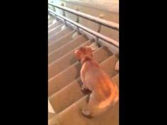 階段をす滑り降りていくラブラドールの子犬 - YouTube