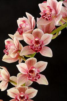 Cymbidium Paradisian Surprise 'Speckles' – Famous Last Words Flowers Nature, Exotic Flowers, Beautiful Flowers, Orchids Garden, Orchid Plants, Indoor Orchids, Orchid Flowers, Orchid Wallpaper, Orquideas Cymbidium